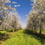 Jak a kdy stříhat jabloně